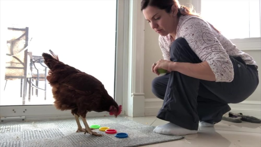Chicken picking red cap from other colored caps while trainer watches